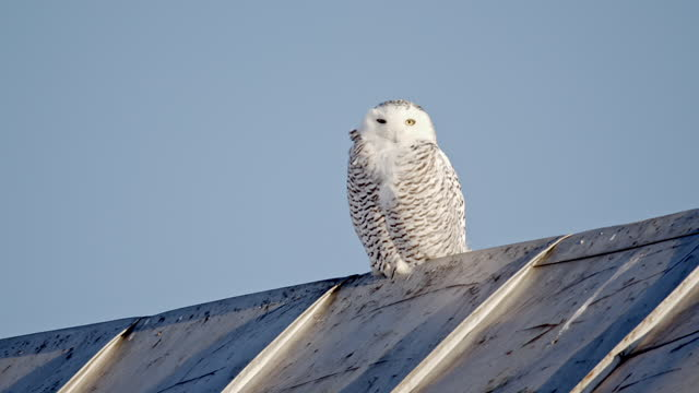 a snowy owl perched on a metallic roof looks at the camera - french overseas territory stock videos & royalty-free footage