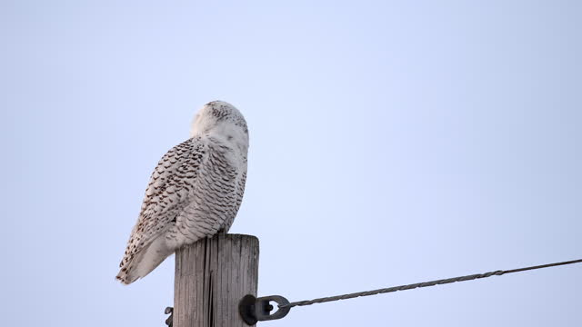 a snowy owl perched on a pole looks around from side to side - french overseas territory stock videos & royalty-free footage