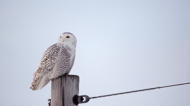 a snowy owl perched on a pole move its head up and down while scanning an object below - french overseas territory stock videos & royalty-free footage