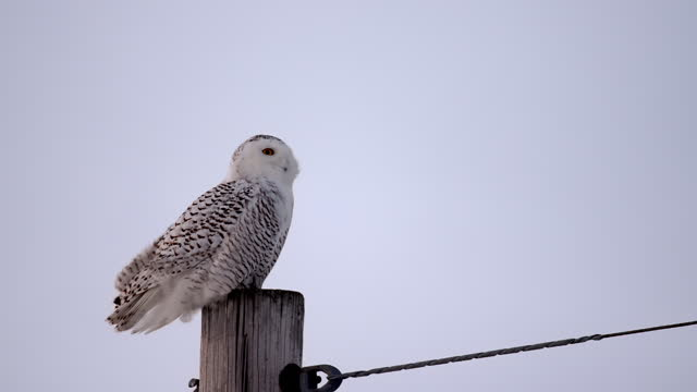 a snowy owl perched on a pole stretches its neck during a windy day - french overseas territory stock videos & royalty-free footage