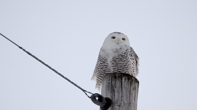 a snowy owl perched on a pole tracks an object on the ground during a windy day - french overseas territory stock videos & royalty-free footage