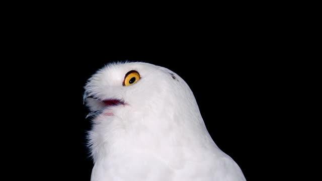 ecu snowy owl (nyctea scandiaca) portrait of adult looking around / scandinavia, europa - nest stock-videos und b-roll-filmmaterial