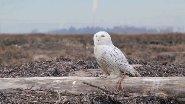 snowy owl taking off towards the camera - snowy owl stock videos and b-roll footage