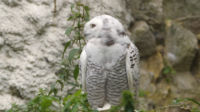 snowy owl (bubo scandiacus) - endangered species stock videos & royalty-free footage