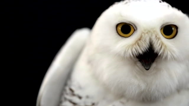 cu of snowy owl - snowy owl stock videos and b-roll footage