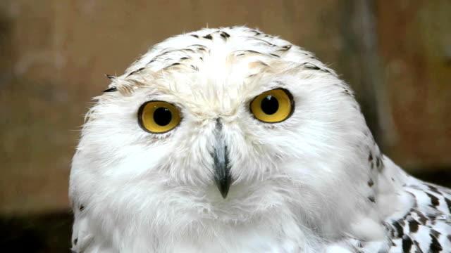 snowy owl - snowy owl stock videos and b-roll footage