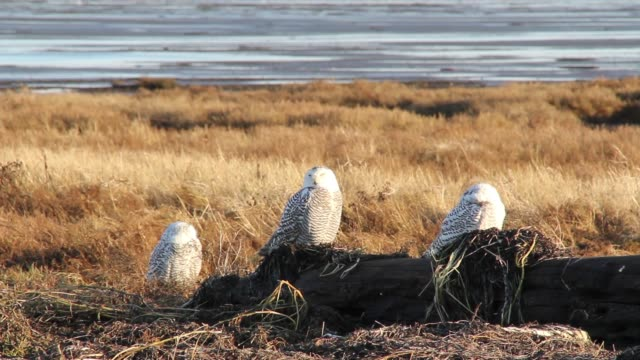 3 snowy owls napping in the sun. - snowy owl stock videos and b-roll footage