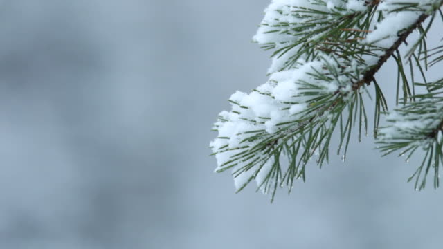 snowy pine branch - pine branch stock videos & royalty-free footage