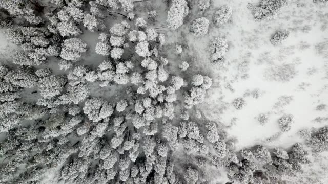 Snowy pine forest looking down