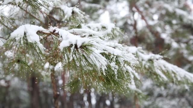 vídeos de stock e filmes b-roll de snowy pine trees at samreungsup forest - pinaceae