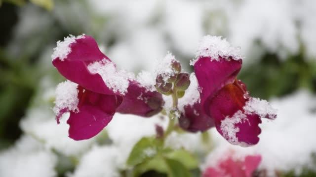 Snowy snapdragon