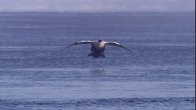 a soaring eider duck lands in a polynya on icy sea in the canadian arctic. available in hd. - eider duck stock videos & royalty-free footage