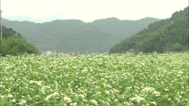 Soba flowers bloom in a mountain meadow.