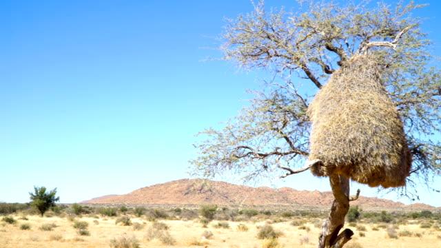 sociable weaver (philetairus socius) nest on a tree - eyal bartov stock videos and b-roll footage