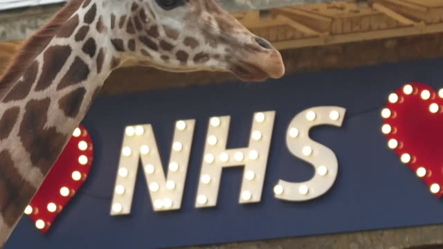 social distancing signs and giraffes in front of nhs sign at london zoo during coronavirus pandemic - mammal stock videos & royalty-free footage