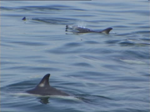 stockvideo's en b-roll-footage met social group of common dolphins resting - rugvin
