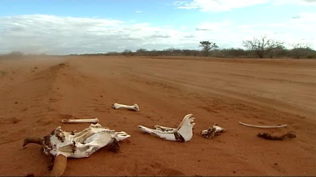 vídeos y material grabado en eventos de stock de social impact of somalian refugees fleeing to kenya kenya north eastern province ext skulls and skeletons of dead cattle lying on dusty road /... - dead animal