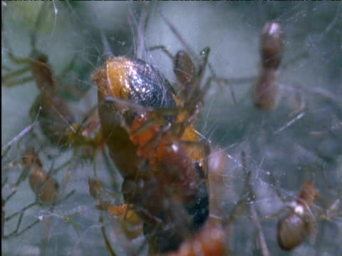 Social spiders swarm over larger beetle prey Panama