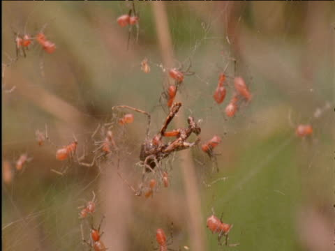 vídeos de stock e filmes b-roll de social spiders swarm over trapped praying mantis prey - colony