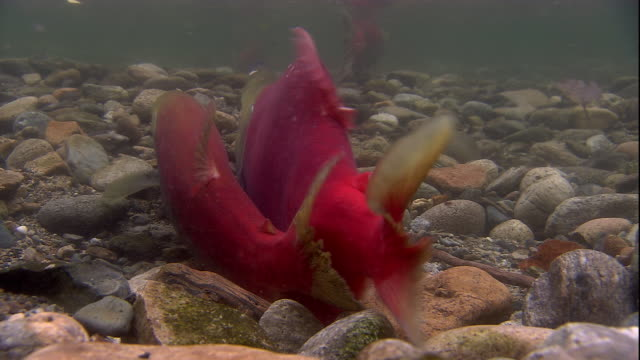 a sockeye salmon interrupts a pair laying and fertilizing eggs on a riverbed. available in hd. - spawning stock videos and b-roll footage