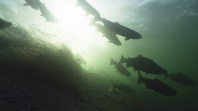 sockeye salmon migration, slow motion - freshwater stock videos & royalty-free footage