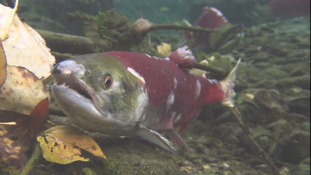 a sockeye salmon slowly dies on a riverbed after spawning in british columbia, canada. available in hd. - spawning stock videos and b-roll footage