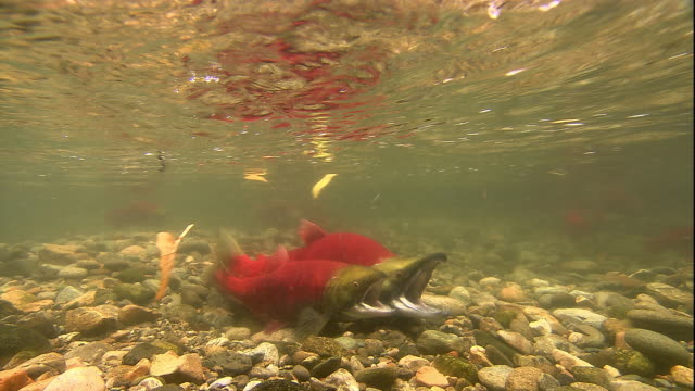 sockeye salmon spawn in a shallow river in british columbia, canada. available in hd. - eizelle stock-videos und b-roll-filmmaterial