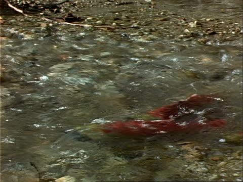 sockeye salmon swim against a river current. - kanada stock-videos und b-roll-filmmaterial