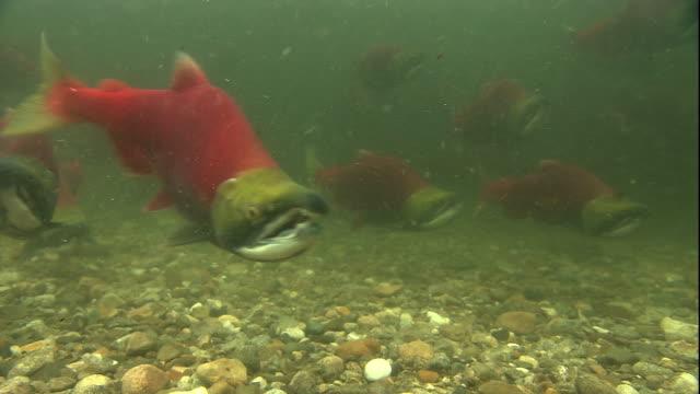 vídeos y material grabado en eventos de stock de sockeye salmon swim along a riverbed. available in hd. - salmón animal