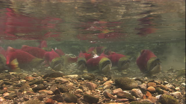 Sockeye salmon swim upstream in a shallow river. Available in HD.