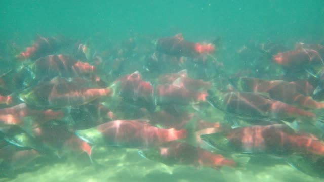 sockeye salmon - swimming stock videos & royalty-free footage