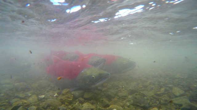 vídeos y material grabado en eventos de stock de sockeye salmons migrating in kamchatka,russia - salmón animal