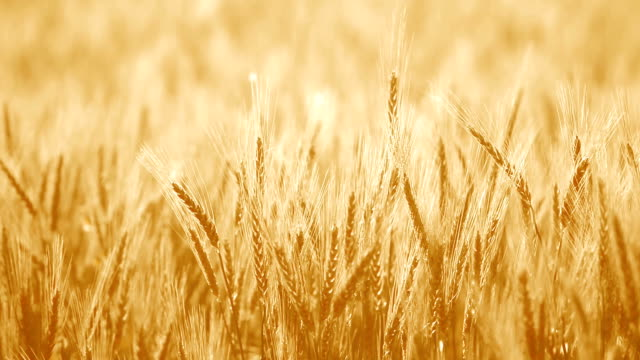 soft brown barley in field - hay texture stock videos & royalty-free footage