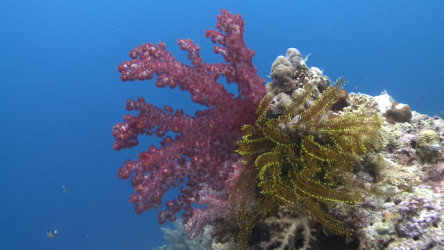 soft coral and feather star, southern visayas, philippines - soft coral stock videos & royalty-free footage