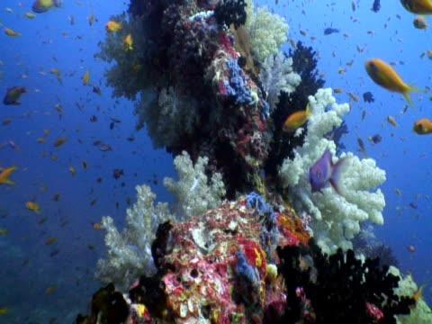 Soft coral and shoaling reef fish, Landaa Giraavaru, Maldives