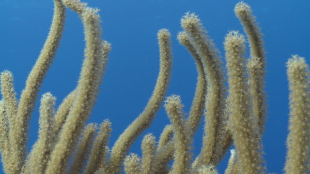 ms soft coral close up / playa del carmen, isla mujeres, mexico - soft coral stock videos & royalty-free footage