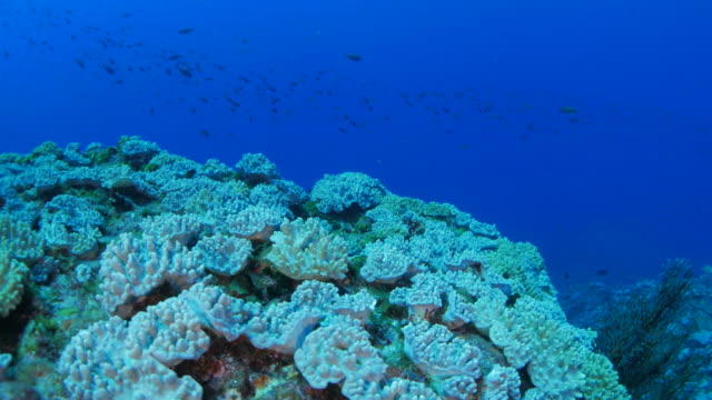 soft coral colony undersea, ogasawara, japan - soft coral stock videos & royalty-free footage