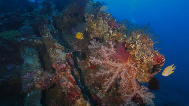 vidéos et rushes de corail mou densément couvert sur liberty shipwreck (4k), indonésie - 2015