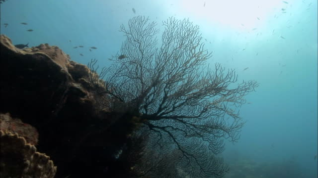 ms, soft coral fans, group of fish in background, saint lucia - gorgonian coral stock videos & royalty-free footage
