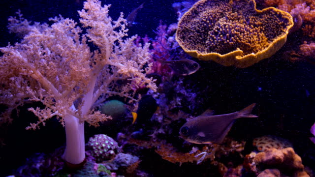 soft coral -octocorallia,alcyonacea -illuminated with coral reef and fish in background , israel  - exotik stock-videos und b-roll-filmmaterial