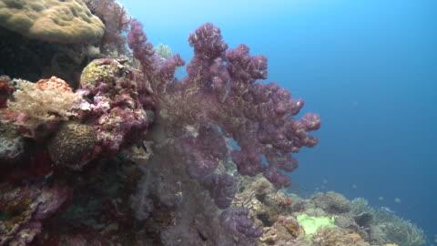 vídeos de stock e filmes b-roll de soft coral swaying in current, southern visayas, philippines - coral macio