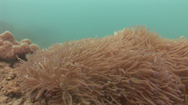 soft coral tentacles undulate in the currents of the mekong river. - seeanemone stock-videos und b-roll-filmmaterial