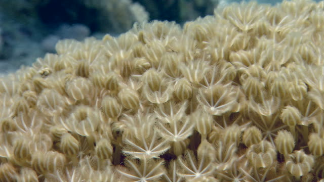 soft coral (xenia macrospiculata). this fast colonizing species covers dead coral and reduces the recruitment of hard coral species. filmed in the red sea - soft coral stock videos & royalty-free footage