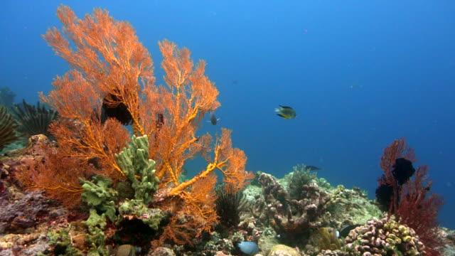 Soft corals of Menjangan, Bali