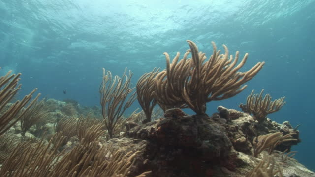 MS, Soft corals swaying in water, Peter Island, British Virgin Islands, United Kingdom