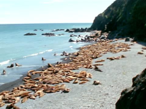 vídeos de stock e filmes b-roll de soft focus beach lined w/ sleeping sea lions, cliffs bg. sea lion cows moving into water. sea lion cow jumping, diving into water. - encostado