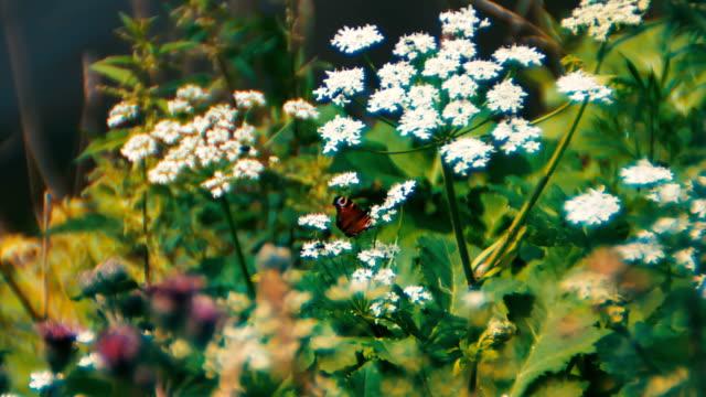 stockvideo's en b-roll-footage met soft focus sea... vlinder - softfocus