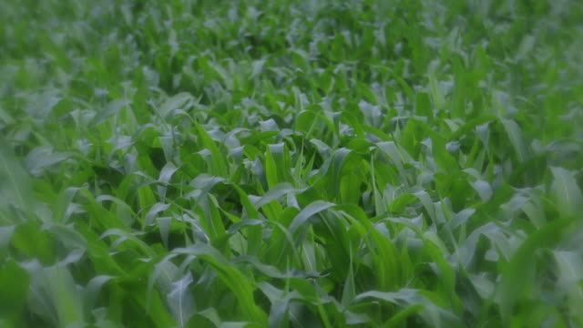 soft focus spot filter, corn stalks - soft focus stock videos & royalty-free footage