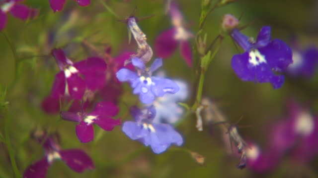 soft focus view of delicate pink and purple flowers in a uk garden. - soft focus stock videos & royalty-free footage