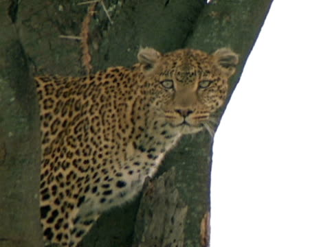 vídeos y material grabado en eventos de stock de soft focus xws heat waves rising on savannah w/ animals, trees. leopard standing in tree in branch junction, looking forward, moving body to look ,... - árbol tropical